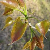 Young cottonwood leaves
