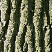 Bark of the eastern cottonwood tree (Populus deltoides)