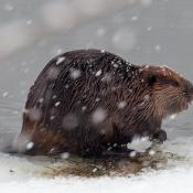 Beaver (Castor canadensis) in the snow