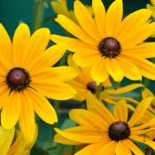 Black-eyed Susans; the state flower of Maryland