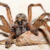 Carolina wolf spider with moth prey