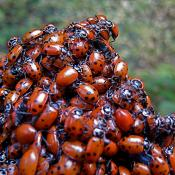 Convergent lady beetles (ladybugs)