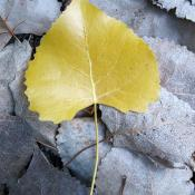 Eastern cottonwood leaf in autumn