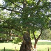 Dawn redwood tree (Metasequoia)