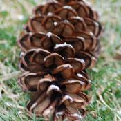 Female eastern white pine cone