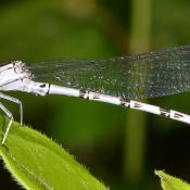 Female vivid dancer damselfly