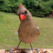 gawky juvenille northern cardinal