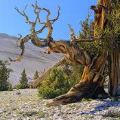 Gnarled trunk of bristlecone pine