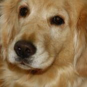 Golden Retriever adult portrait