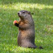 Groundhog (woodchuck) sitting upright holding a peach