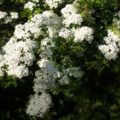 White hawthorn blossoms