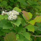 Hawthorn blossoms and foliage
