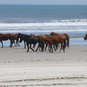 Herd of wild Colonial Spanish mustangs on the Outer Banks of North Carolina