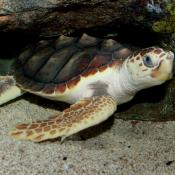 Captive loggerhead sea turtle (Caretta caretta)