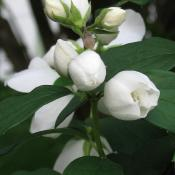 Mock orange; syringa