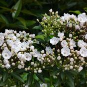 Mountain Laurel flowers (Kalmia latifolia)