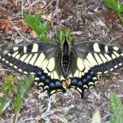 Oregon swallowtail butterfly, official state butterfly of Oregon