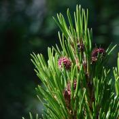 Ponderosa pine with young cones