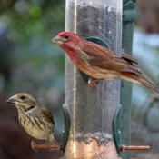 Purple finches: male and female