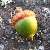 Acorn from a northern red oak tree