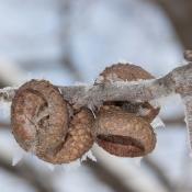 Acorn caps on northern red oak tree branch in winter