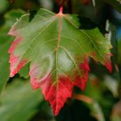 Red maple leaf (acer rubrum) turning from summer green to fall red