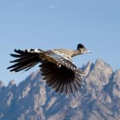 Roadrunner in flight