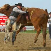 Rodeo cowboy and steer