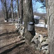 Collecting sap from sugar maple trees in Vermont