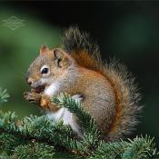 Squirrel munching on white spruce cones