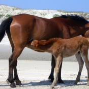 Mother and foal Spanish mustangs
