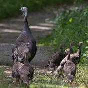 Wild turkey hen with poults