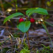 Wintergreen with ripe berries