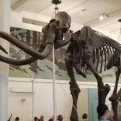 Fossil model of woolly mammoth