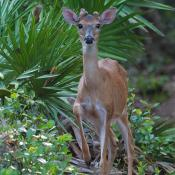 Young white-tailed deer buck  (Odocoileus virginianus)