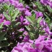 Texas purple sage flowers