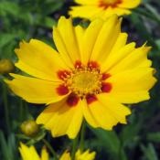 Yellow and red coreopsis