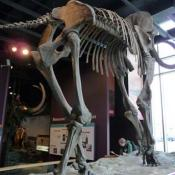 Woolly mammoth fossil skeleton