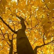 Yellowwood tree with gold autumn foliage