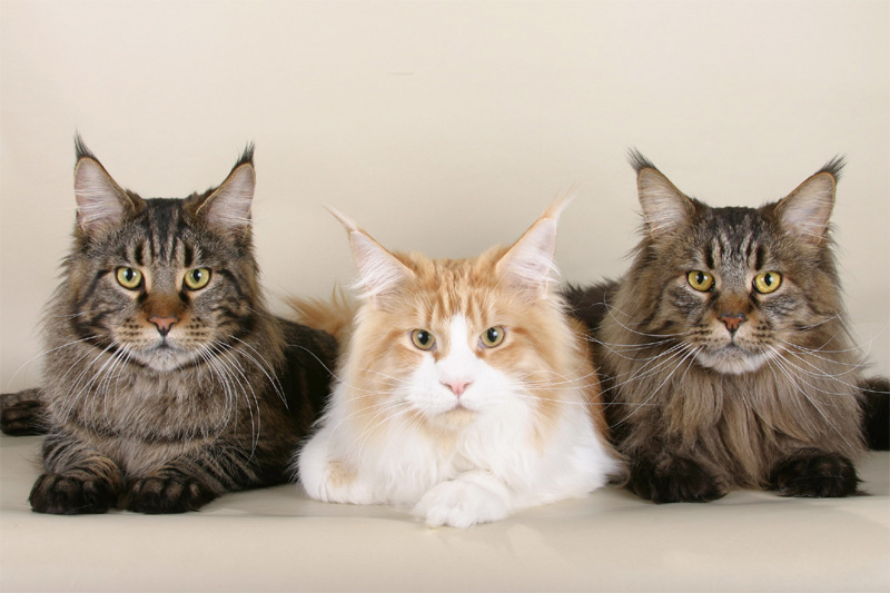 Maine coons in arkansas