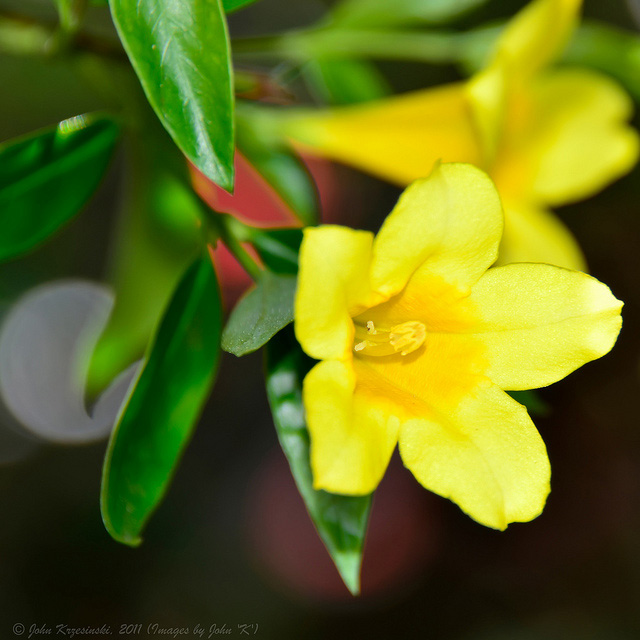 South Carolina State Flower Yellow Jessamine