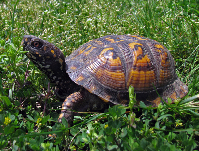tennessee state reptile eastern box turtle