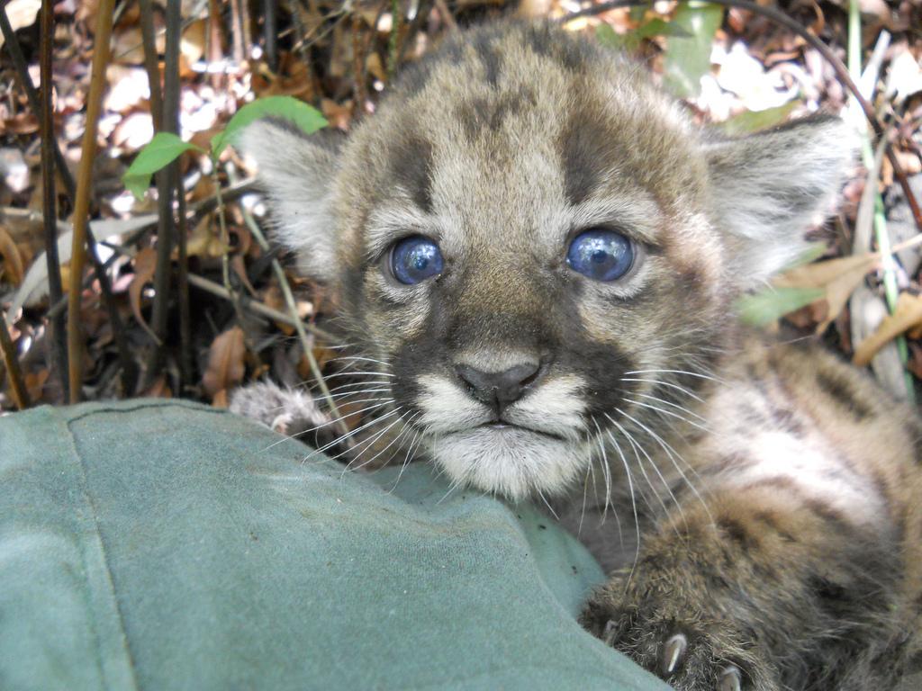 Florida state animal florida panther florida panther kitten buycottarizona