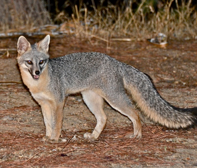 What does a coyote look like facts 10