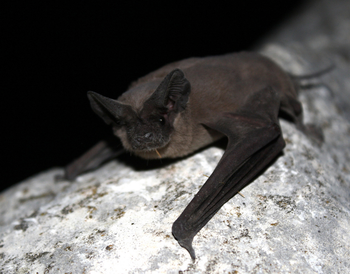 Oklahoma State Flying Mammal Mexican Free Tailed Bat