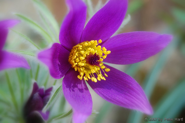 images pasque flower