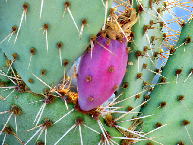 texas state plant prickly pear cactus