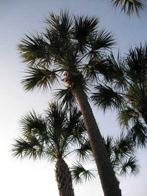 Florida State Tree Sabal Palm - Florida state bird and flower and tree