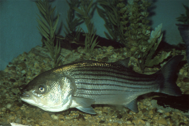 Striped bass state fish state symbols usa for Best striper fishing spot in ri