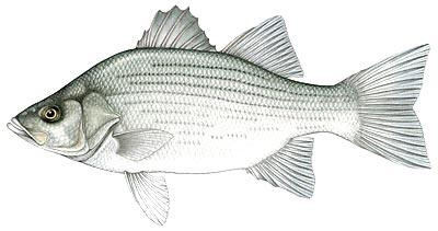 Oklahoma State Fish White Bass